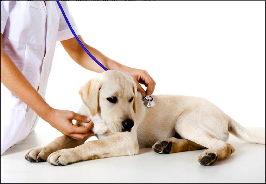 Диагностика собачьего гриппа.