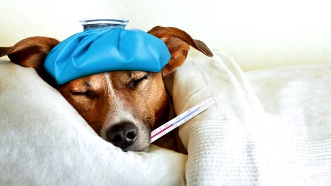 Терапия собачьего гриппа.