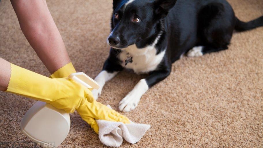 sobaka gadit na kover - Как отучить собаку писать, гадить дома в неположенном месте
