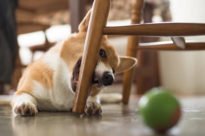 Собака грызет ножку стула.
