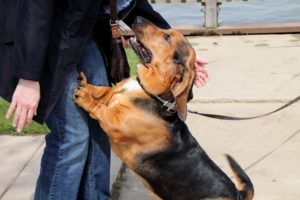 Как отучить взрослого пса прыгать на ноги.
