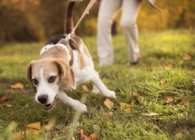 sobaka tyanet povodok 2 - Как отучить взрослую собаку тянуть поводок на прогулке