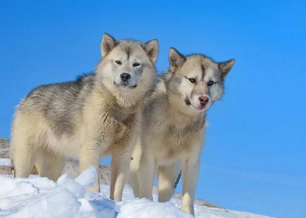 Greenland Dog фото.