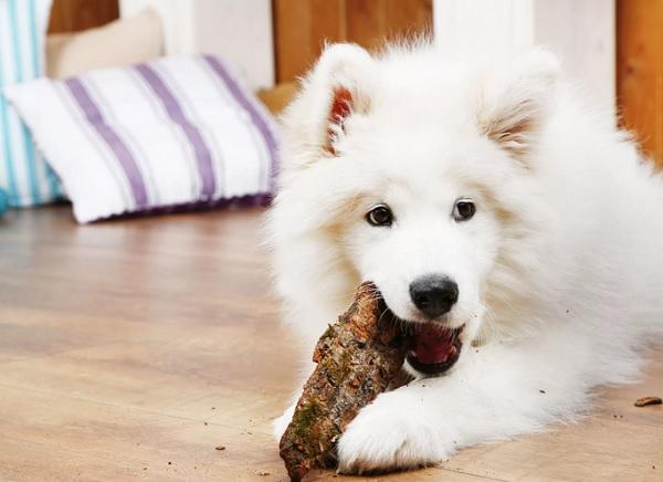 Самоедская собака ест.