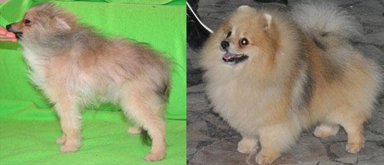 Линька померанца: фото до и после.