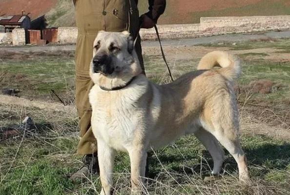 Армянским волкодавам нужно обучение.