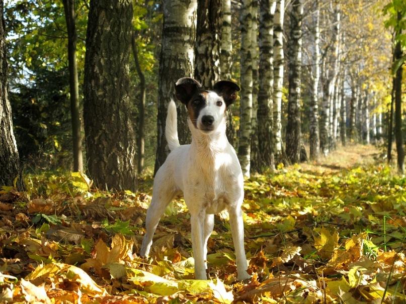 Фокс: фото собаки.