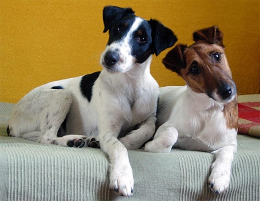 Собаки породы фокс.