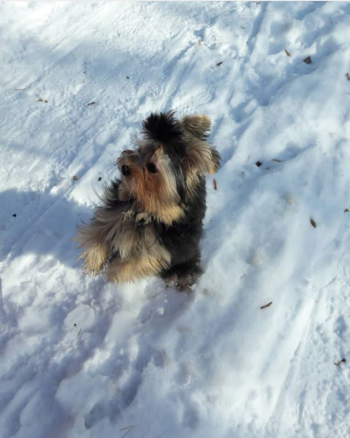 jorkoshpits 1 - Метис йорка и шпица: фото собаки, описание породы