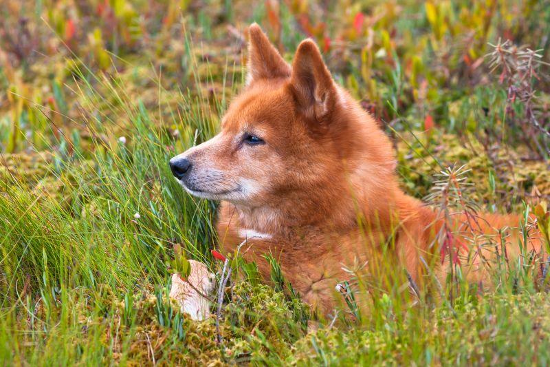Порода собак карелка.