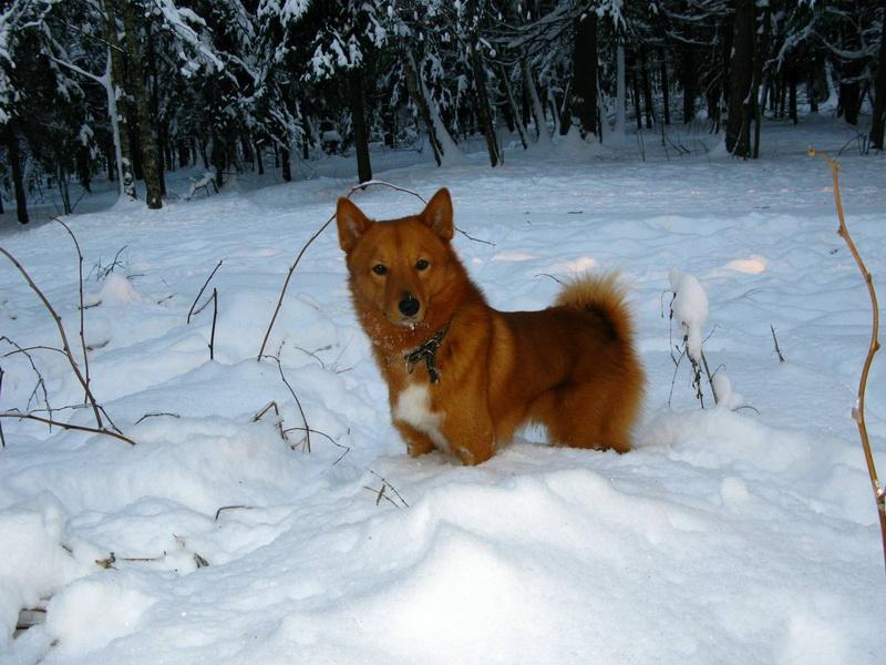 Карелка в лесу.