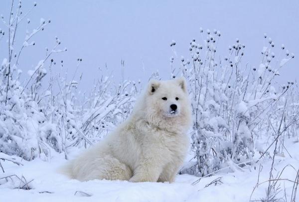 Самоедская собака фото.