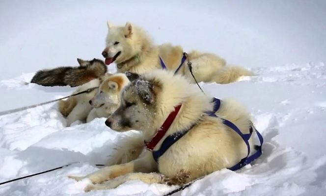 Гренландская ездовая собака.