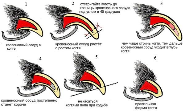 strizhka kogtej sobake 1 - Как правильно подстричь когти шпицу