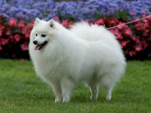 Собака Nihon Supittsu.