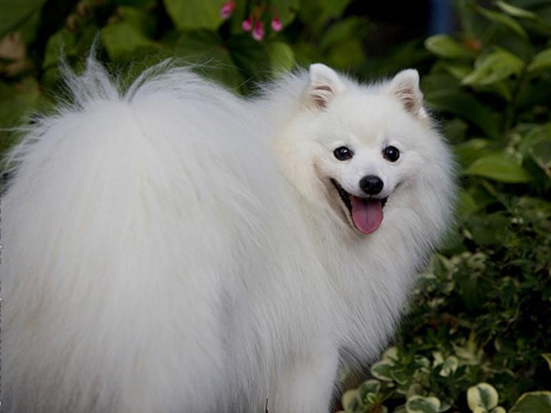 Собака породы нихон супитцу.