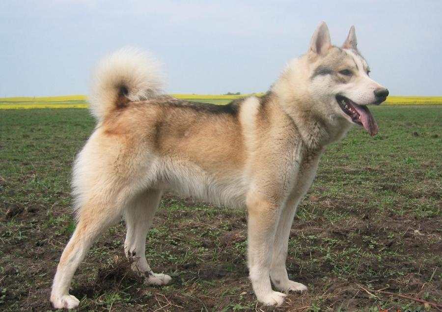 Собака ЗСЛ