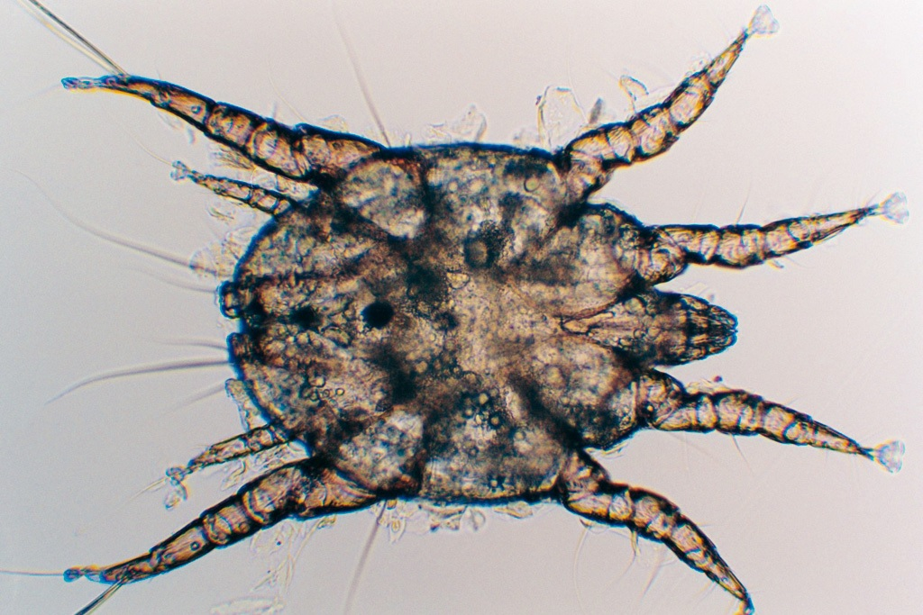 Otodectes cynotis.