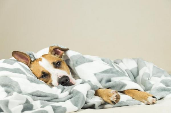 Симптомы пироплазмоза