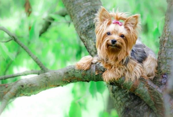Йорк на дереве